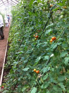 009_110723_お土産トマト収穫