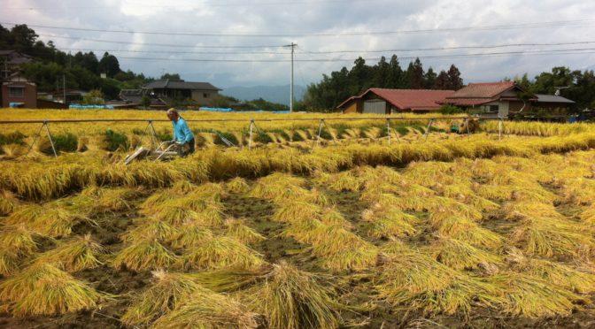 稲刈りが始まりましたよ & 柿の畑でピクニック