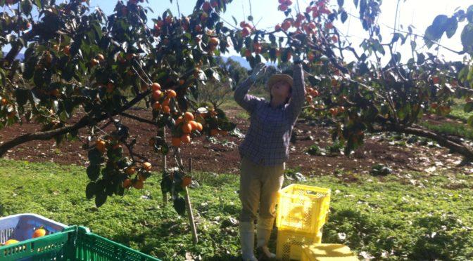 市田柿作りがはじまりました、まずは収穫です!