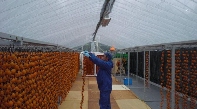 市田柿、仕上げ工程に入りました。柿干場の模様替え。