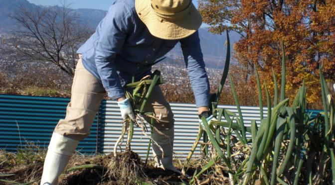 市田柿、完成に向けて下ろしています。合間に冬野菜を収穫しました。