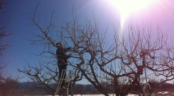 市田柿の剪定が始まっています