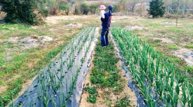 フルーツとうもろこしのマルチ張りと柿畑の敷き藁作業