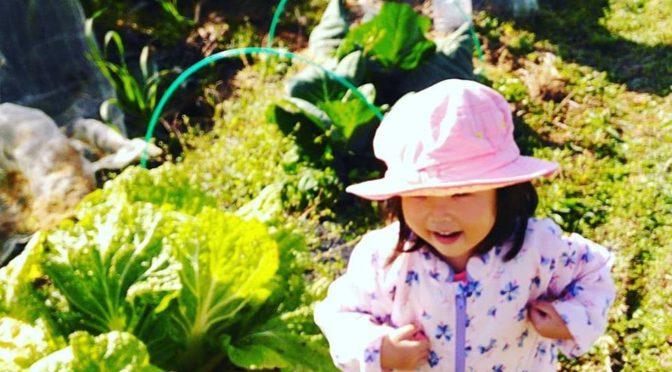 市田柿の作業の合間に冬野菜の収穫